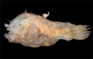 0130anglerfish