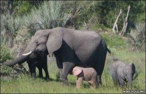 _45581600_pinkelephant1of3