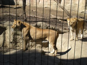 Two young lions at the Racine Zoo