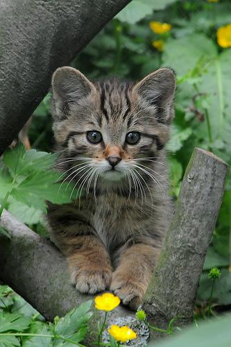 Eur wildcat