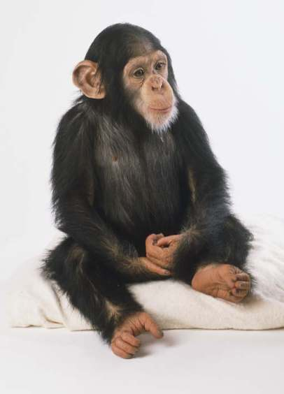 Chimp sitting 9