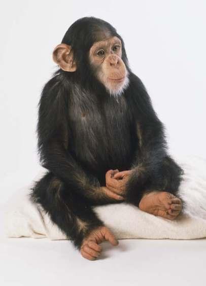 Chimp sitting 9