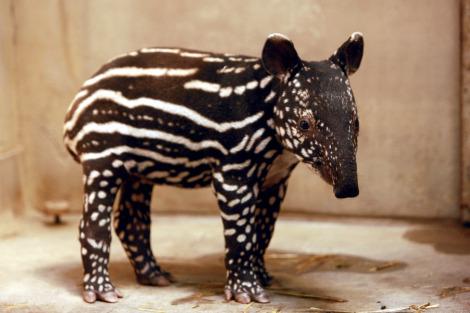 Baby Malay tapir
