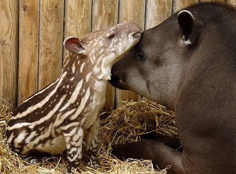 Brazilian tapir with Baby