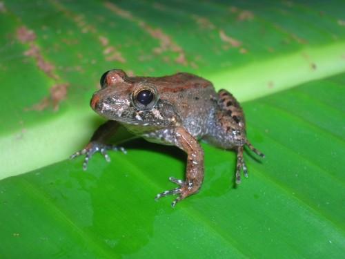Leptodactylus melanonotus, a smaller relative of the mountain chicken