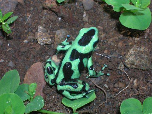 Dendrobates auratus with tadpole, Est. Biol. La Suerte, Costa Rica