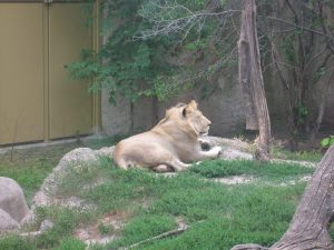23 month old male lion at Racine Zoo