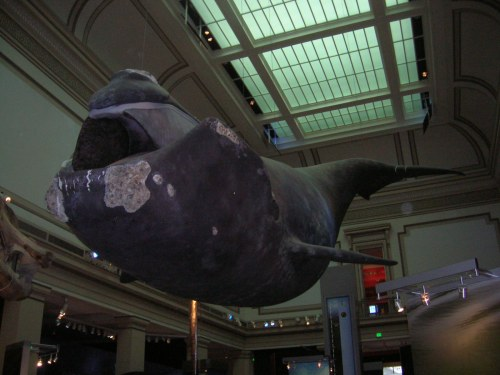 Northern right whale in Ocean hall at USNM