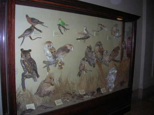 Pigeons, parakeet, and owls in Birds of DC at USNM