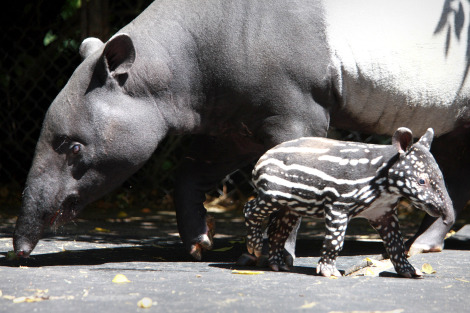 Malay Tapir with baby