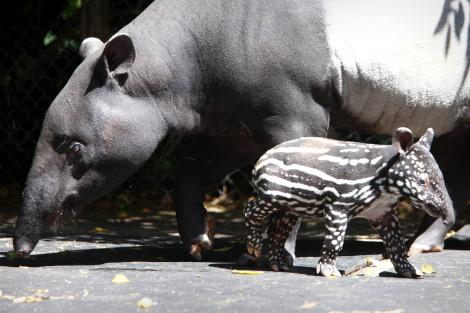 Malay Tapir with baby