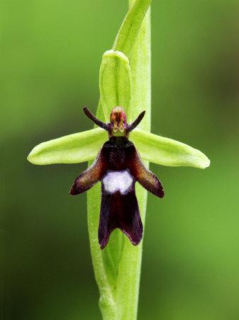 Ophrys insictifera
