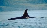 Orca_dorsalfin_NOAA