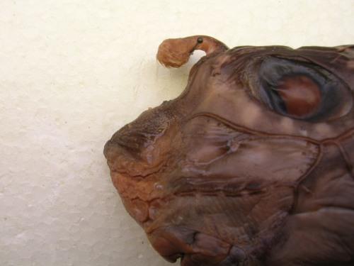 Male chimaerid
