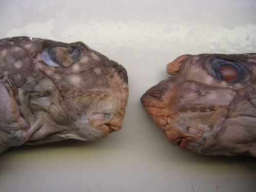Female (left) and male chimaerids.