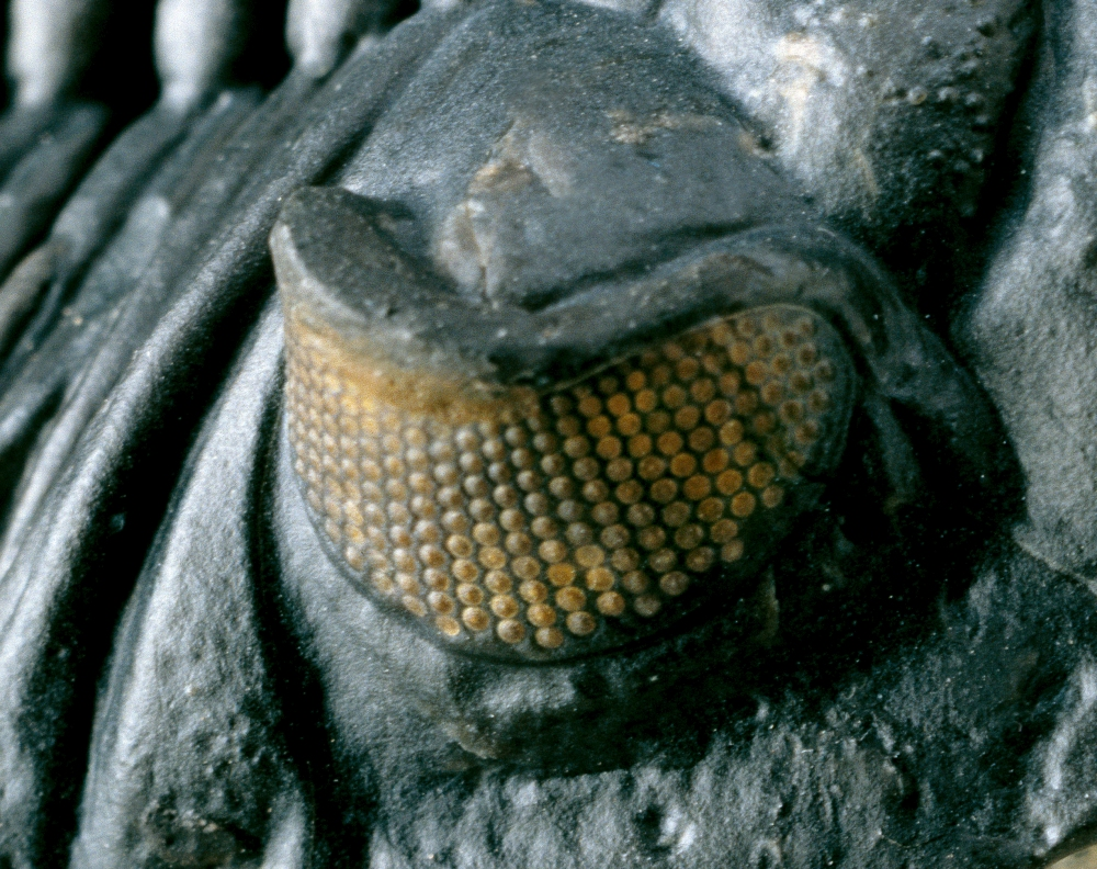 Hollardops eye