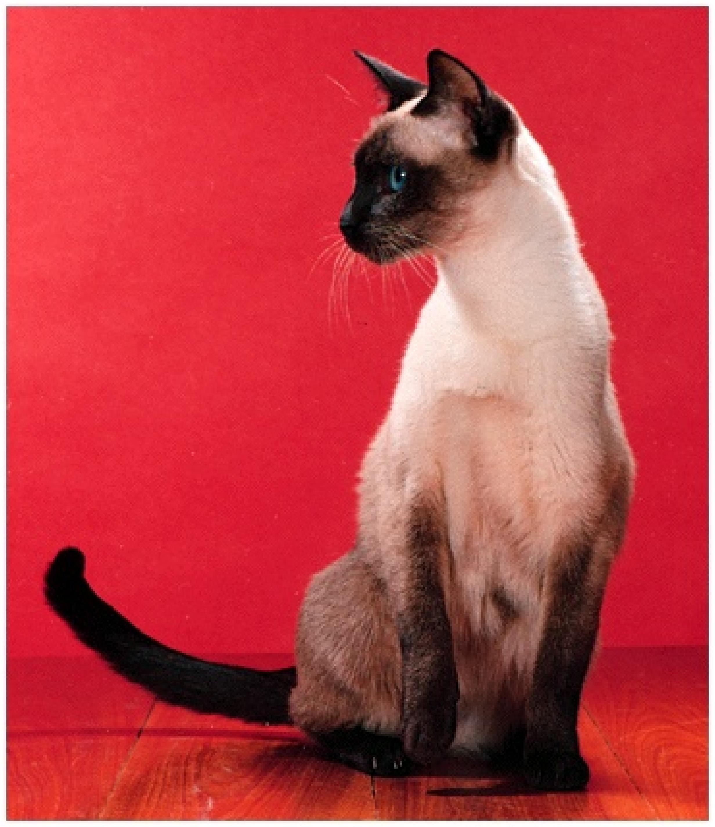 WP34637 Blue point Siamese cat, Jacob , 9 years old. live-fußball williamhill sehen wie mein williamhill bonus zu nutzen