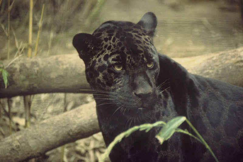"""A """"black panther"""" or melanistic jaguar"""