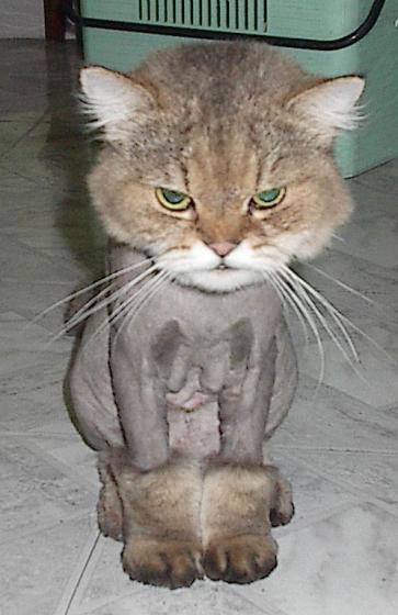 Often the lion cut makes a cat look like it's wearing Uggs: