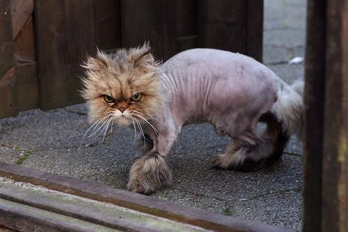 shaved-cat-2.jpg?w=500