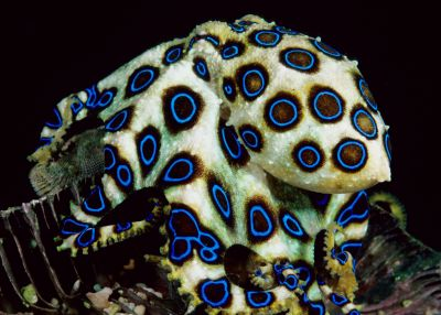 blue-ringed-octopus-1-1