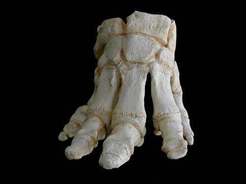 C311 Elephant Foot 171 Why Evolution Is True