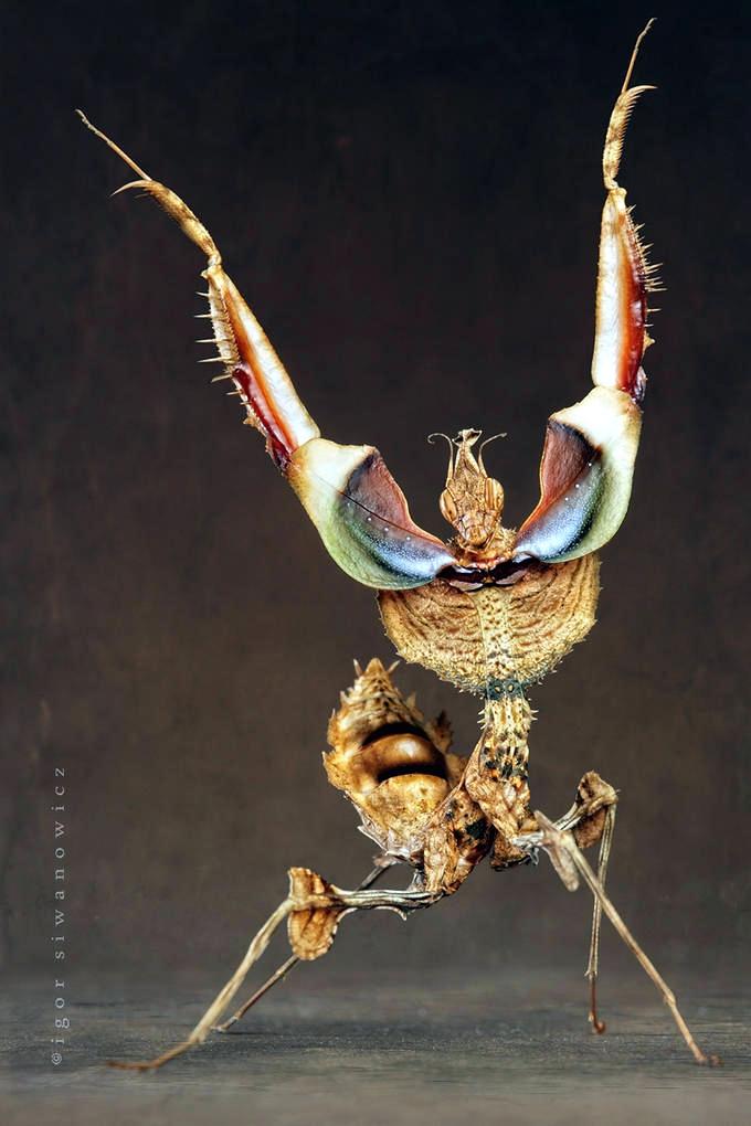 Igor Siwanowicz Photography Mantis 22 171 Why Evolution Is True