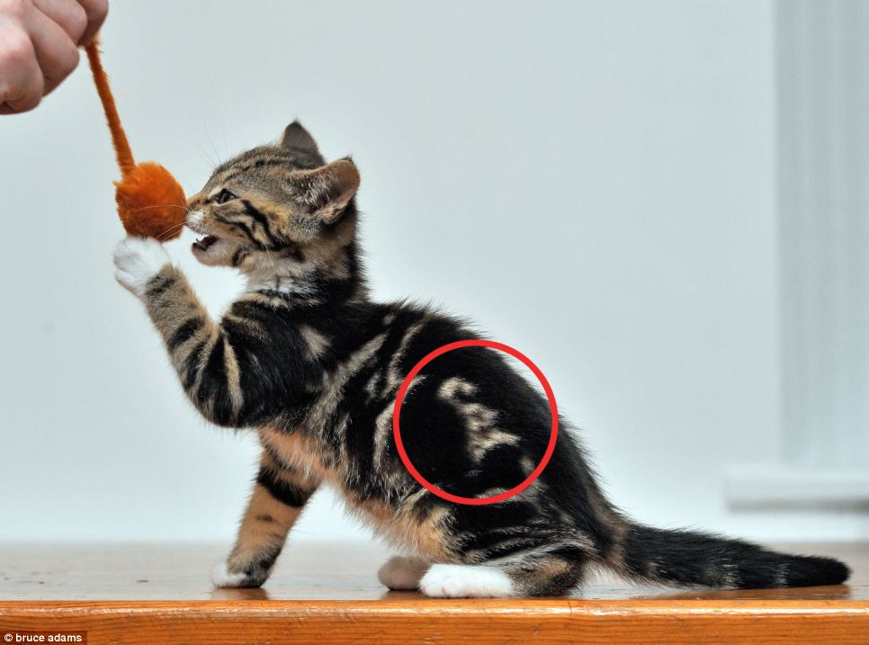Final Friday felid: a miracle cat! « Why Evolution Is True