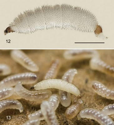 Image result for Larva mimic Fly