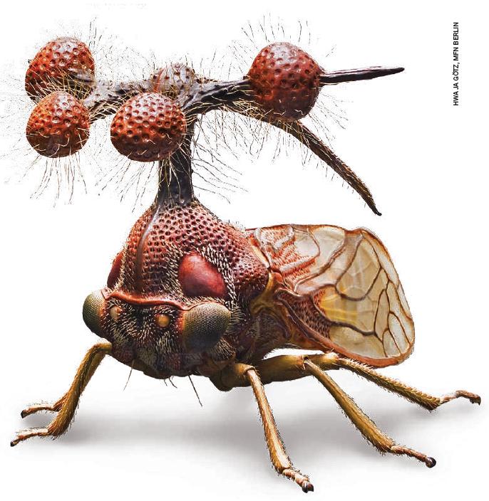 Bocydium globulare (leafhopper)