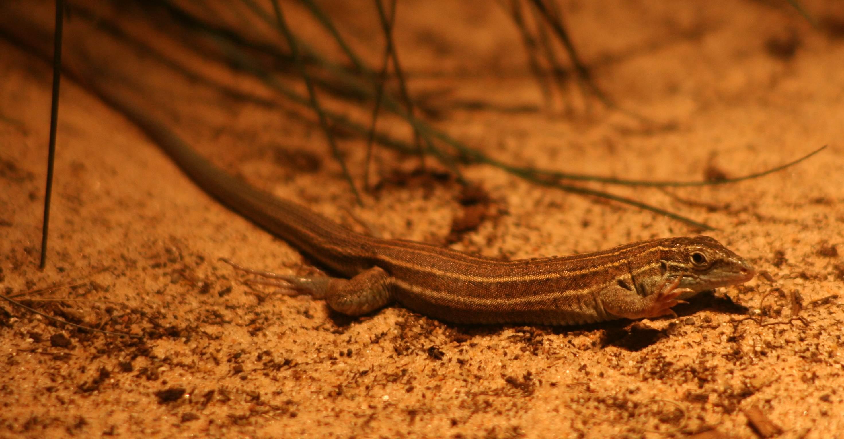 virgin Parthenogenetic lizards
