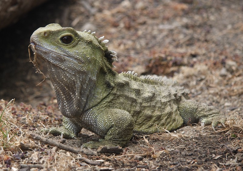Henry the tuatara, from Wikimedia.