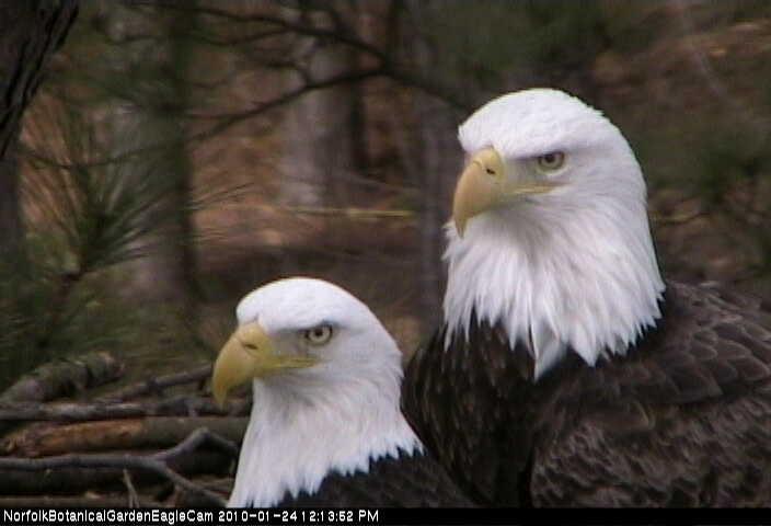 Bald eagle sex position