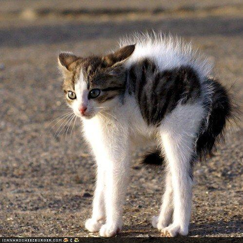 hissing kitten with hair erect « Why Evolution Is True