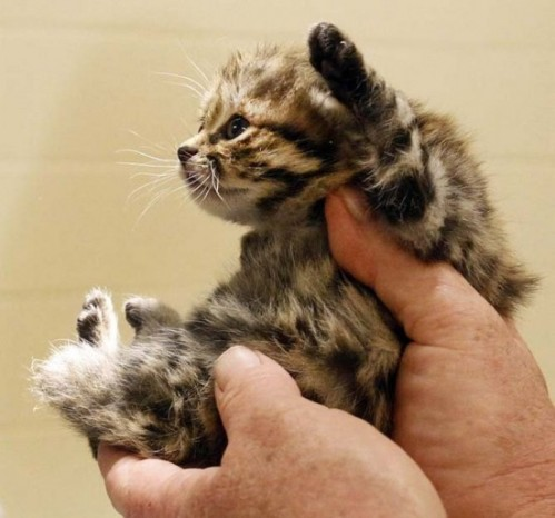 Black Footed Cats 550x513 Jpg W 500