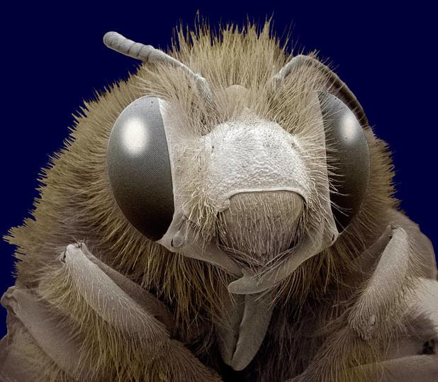 Honey bee (Apis sp.)