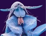 Human flea (Putrex irritans)