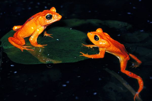 lost-frogs-golden-toad_24389_600x450