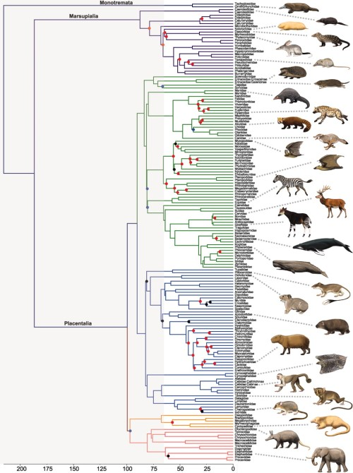 A new phylogeny of the mammals « Why Evolution Is True  A new phylogeny...