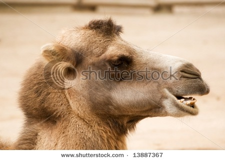 stock-photo-portrait-of-a-camel-face-13887367
