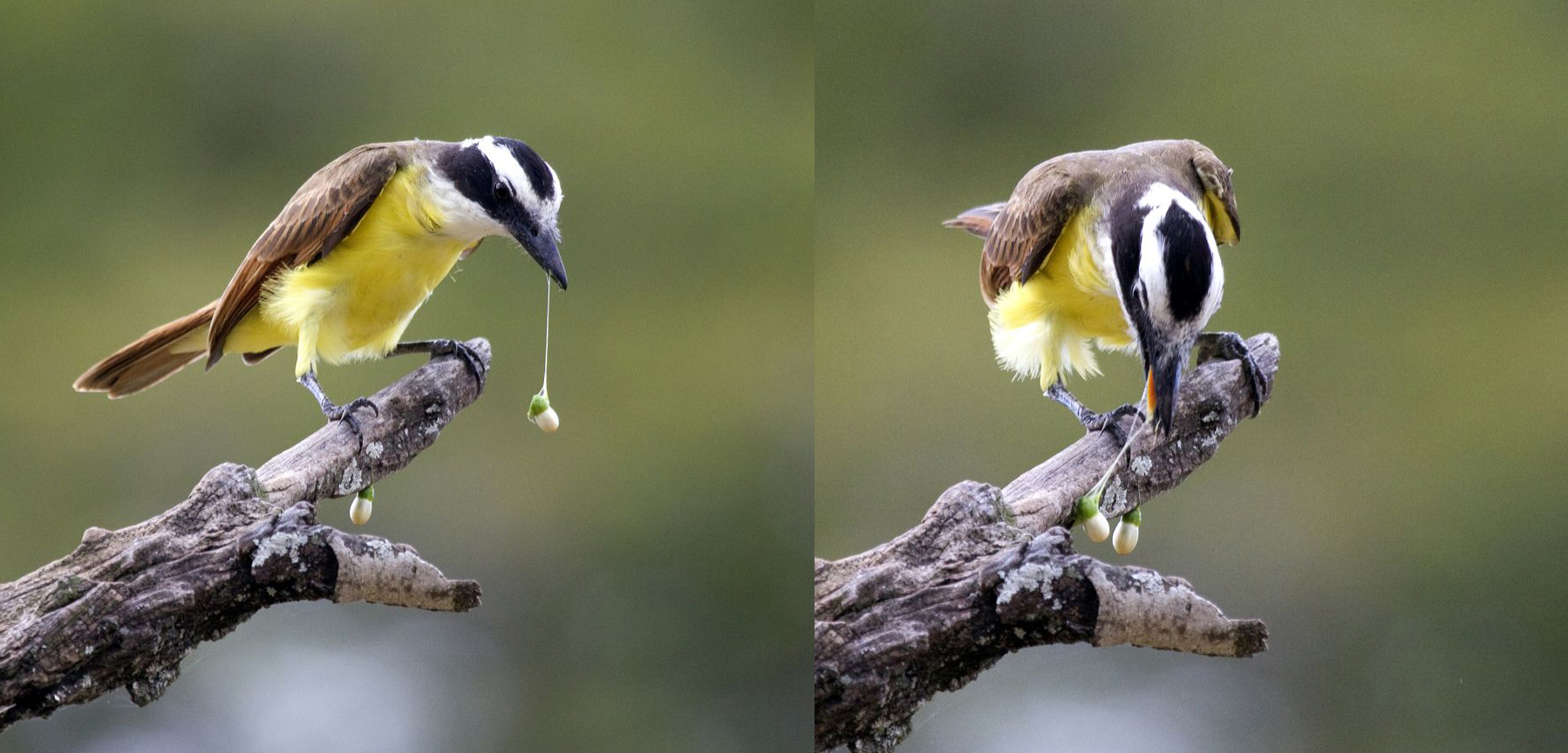 avian frugivory and seed dispersal of Symposium-workshop on frugivores and seed dispersal (3rd : 2000 : sao   mistletoes as parasites and seed-dispersing birds as disease vectors: current.