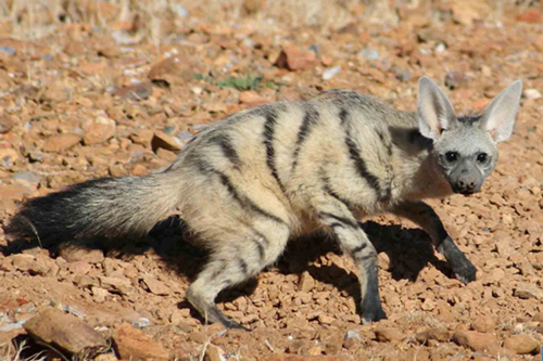 The aardwolf, Proteles cristata, which eats insects