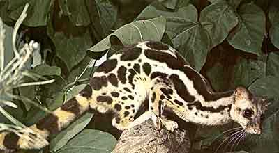 The banded linsang (Prionodon linsang),an omnivorous civet from southeast Asia