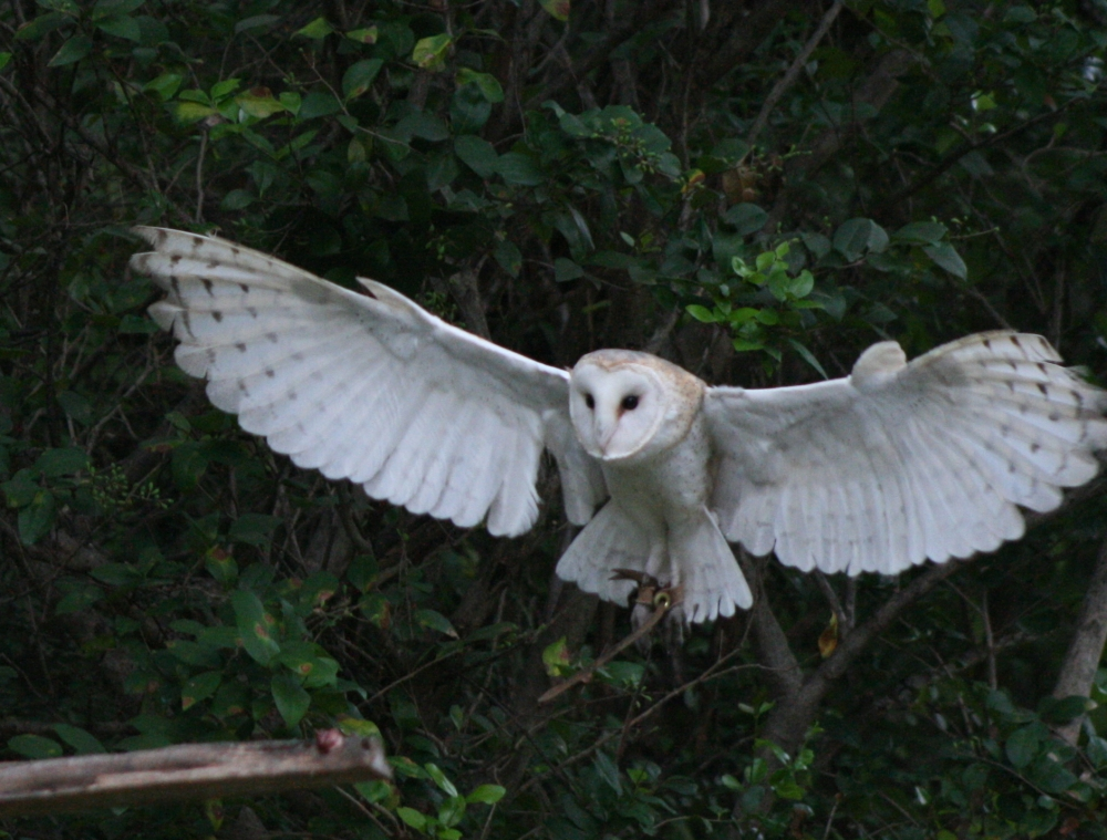 Barn_Owl_Flight_4_by_NefaroStock