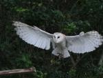 Barn_Owl_Flight_4_by_NefaroStock