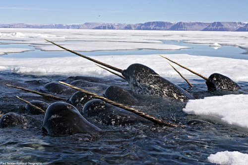 Mysteries Of Evolution The Narwhals Tusk Or Rather Tooth Why