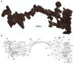 Figure 1 | Yutyrannus huali (ZCDM V5000 and ZCDM V5001). a, Photograph of the slab preserving ZCDM V5000 and ZCDMV5001. b, Line drawing of the slab. Abbreviations: cav, caudal vertebra; cev, cervical vertebra; dr, dorsal rib; dv, dorsal vertebra; ga, gastralia; lfe, left femur; lfi, left fibula; lh, left humerus; lil, left ilium; lis, left ischium; lm, left manus; lp left pes; lr, left radius; ls, left scapula; lt, left tibiotarsus; lu, left ulna;ma, mandible; pu, pubis; rc, right coracoid; rfe, right femur; rh, right humerus; ril, right ilium; rm, right manus; rp, right pes; rr, right radius; rs, right scapula; rt, right tibiotarsus; ru, right ulna; sk, skull; sy, synsacrum.