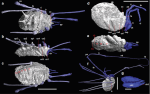 Figure 1 | Virtual fossils of Carboniferous Opiliones. Computer reconstructions of two new species of harvestman from the Stephanian Montceaules- Mines Lagerstätte France. (a–c) A. scolos gen. et sp. nov. MNHM-SO T 076167. (a) Dorsal view. (b) Lateral view. (c) Ventral view. (d–g) M. cronus gen. et sp. nov. MNHM-SO T 079398. (d) Lateral view, walking legs removed and proximal pedipalps outlined. (e) Ventral view, walking legs removed. (f) Lateral view. (g) chelicerae, segments labelled. 9–13—segments 9–13; ch—chelicerae; ch 2–3—cheliceral segments 2–3; cx 1–4—coxae 1–4; fe—femur; mt—metatarsus; oc—ocularium; pa—patella; pp—pedipalps; ri—dorsal ridge; sp 1–3—dorsal spines 1–3; ta—tarsus; ti—tibia; tr—trochanter. Scale bar, a–c, 5 mm; d,e, 5 mm; f, 5 mm; g. 0.5 mm.