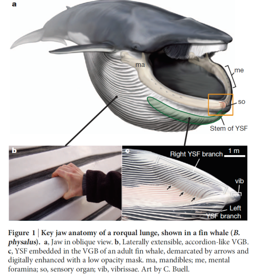 A New Organ Discovered In Baleen Whales Why Evolution Is True