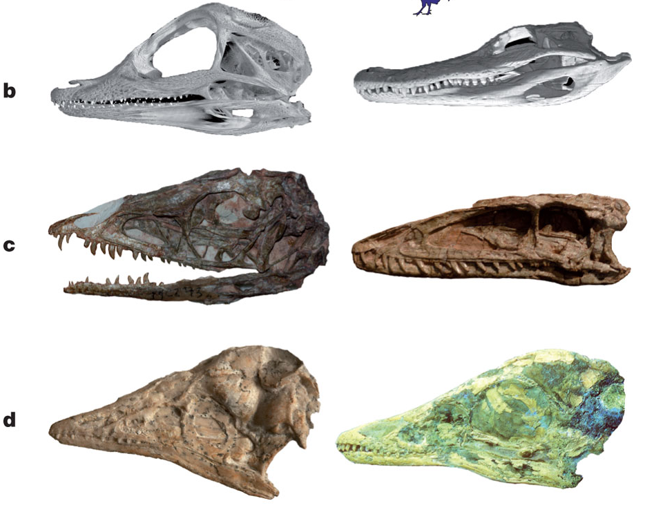 (from the paper): b–d, skulls of selected archosaurs: Alligator 46-day embryo (b, left) and adult (b, right); Coelophysis (primitive dinosaur) juvenile (c, left) and adult (c, right); Archaeopteryx (stem-group bird) juvenile (d, left) and adult (d, right).